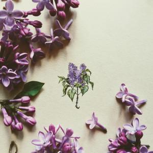 Bez, kwiat bzu  Botanical illustration