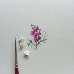Groszek pachnący ,Botanical illustration
