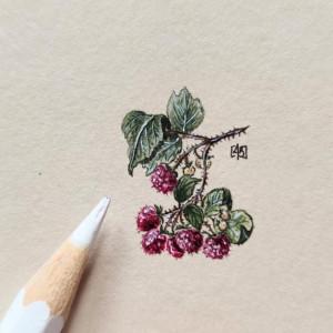 Maliny, Botanical illustration, miniatura