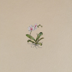 Orchidea, Storczyk,  Botanical illustration