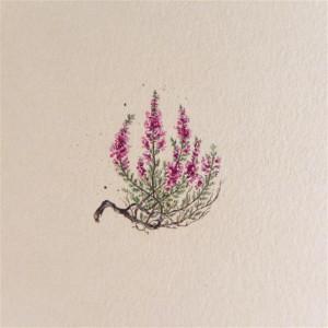 Wrzosy, Botanical illustration, miniatura